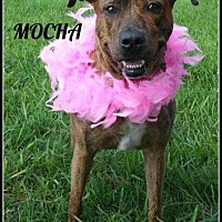 Adopt A Pet :: Mocha - Houston, TX