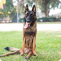 Belgian Malinois Mix Dog for adoption in Los Angeles, California - Bert