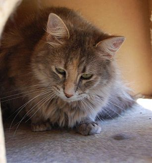 Domestic Longhair Cat for adoption in Brainardsville, New York - Glasgow