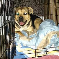 Adopt A Pet :: Nolan - Lodi, CA