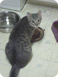Domestic Mediumhair Cat for adoption in Woodland, California - Minerva