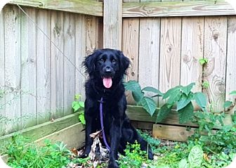 Flat-Coated Retriever/Spaniel (Unknown Type) Mix Dog for adoption in Amherst, Ohio - GEMMA-PENDING ADOPTION