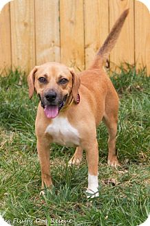 Hound (Unknown Type) Mix Dog for adoption in Enfield, Connecticut - Sherman