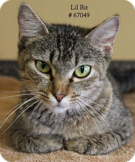 Domestic Shorthair Cat for adoption in Baton Rouge, Louisiana - Lil Bit