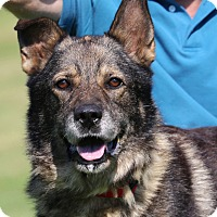 Australian Shepherd/Dutch Shepherd Mix Dog for adoption in Glastonbury, Connecticut - Bruce ❤️~ meet me!