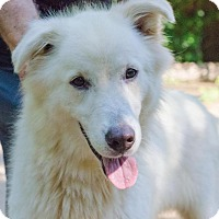 Great Pyrenees/Labrador Retriever Mix Dog for adoption in Enfield, Connecticut - Diesel