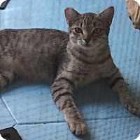 Domestic Shorthair Kitten for adoption in Sherman Oaks, California - Saucy