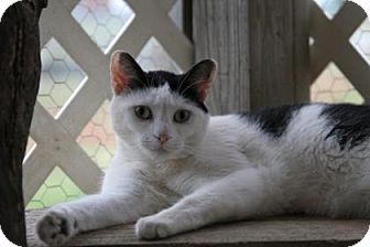 Domestic Shorthair Cat for adoption in Norman, Oklahoma - Yang