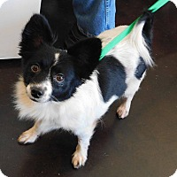 Papillon Mix Dog for adoption in Palm Harbor, Florida - Levi