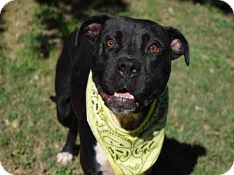 Pit Bull Terrier Dog for adoption in Atlanta, Georgia - BIG BLACK