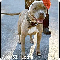 Pit Bull Terrier/Boxer Mix Dog for adoption in Elgin, Illinois - Jodie