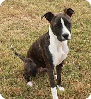 Boxer Mix Puppy for adoption in Norfolk, Virginia - Annie