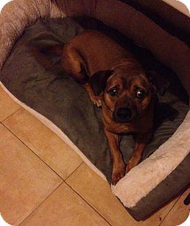 Terrier (Unknown Type, Medium)/Dachshund Mix Dog for adoption in San Diego, California - Bubu