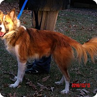 "Spitz (Unknown Type, Medium) Mix Dog for adoption in SUSSEX, New Jersey - Ralphie ""Icelandic Spitz"""