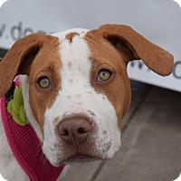 Adopt A Pet :: Pippa - Aubrey, TX