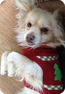 Tibetan Spaniel Dog for adoption in Irvine, California - A-two