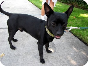 Chihuahua Mix Dog for adoption in Sacramento, California - Rico