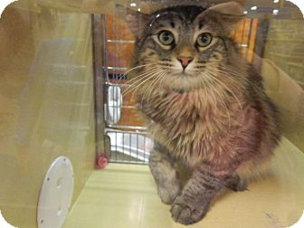 Maine Coon Cat for adoption in The Colony, Texas - Tino