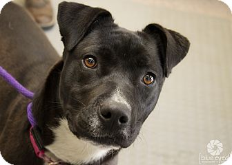 Pit Bull Terrier Mix Dog for adoption in Gardnerville, Nevada - Tasha