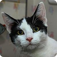 Adopt A Pet :: Ringo - Lombard, IL
