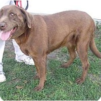 Adopt A Pet :: Brandy - Orange Park, FL