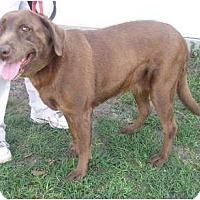 Adopt A Pet :: Brandy - Orange Park, FL