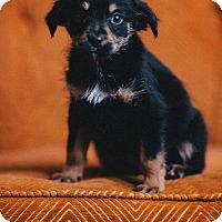 Adopt A Pet :: The Professor - Portland, OR