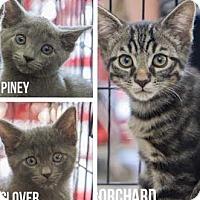 Adopt A Pet :: Clover - Merrifield, VA