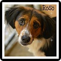 Adopt A Pet :: Roso - Pawling, NY