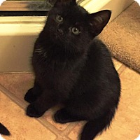 Adopt A Pet :: Merlin (Fluffy's Kittens) - Medford, NJ