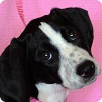 Adopt A Pet :: **GRACE** MEET MAY 21ST! - Mukwonago, WI
