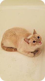 Siamese Cat for adoption in Santa Monica, California - Blue