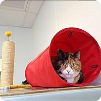 Domestic Shorthair Cat for adoption in Portsmouth, Virginia - Precious