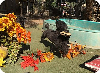 Poodle (Toy or Tea Cup) Mix Dog for adoption in Toluca Lake, California - Steven Tyler