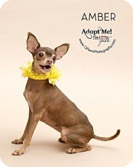 Chihuahua Mix Dog for adoption in Mesa, Arizona - Amber