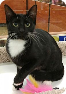 Domestic Shorthair Cat for adoption in Powder Springs, Georgia - GENIE
