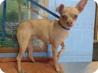 Chihuahua Dog for adoption in San Bernardino, California - URGENT ON 10/15 San Bernardino