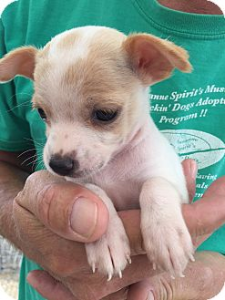 Boston Terrier/Chihuahua Mix Puppy for adoption in Corona, California - Bella Cuddles Puppy