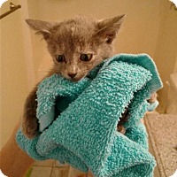 Domestic Mediumhair Kitten for adoption in Sacramento, California - *MERYL