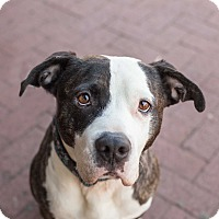 Adopt A Pet :: Chuck - Washington, DC