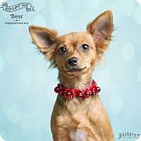Adopt A Pet :: Bear - Chandler, AZ