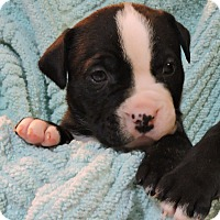 Adopt A Pet :: Black with White Stripe Pup - Concord, OH