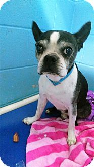 Boston Terrier Dog for adoption in Joplin, Missouri - Dino