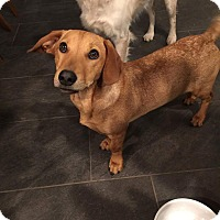 Dachshund Mix Puppy for adoption in Temple City, California - Clara