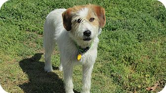 Jack Russell Terrier/Wirehaired Fox Terrier Mix Dog for adoption in Franklin, Virginia - Sprite