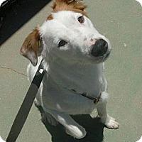 Adopt A Pet :: Ivory - Only $55 adoption fee! - Litchfield Park, AZ