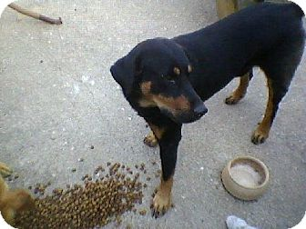Rottweiler/Labrador Retriever Mix Dog for adoption in Tyler, Texas - A-Beaudreaex
