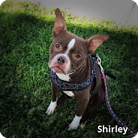 Adopt A Pet :: Shirley - Weatherford, TX