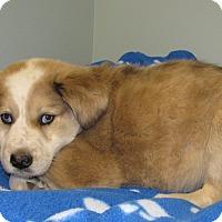 Adopt A Pet :: Dakota - Charlemont, MA