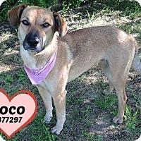 Adopt A Pet :: 377297 Coco - San Antonio, TX